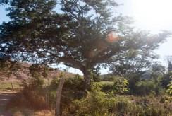 The huge acacia