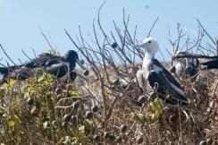 Frigates waiting to fledge