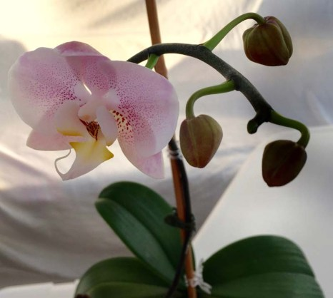 Mama's orchid bloomed again (thx, Karin and Ry!)