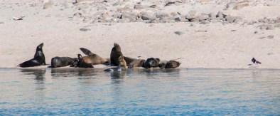 Sea lions on Granito
