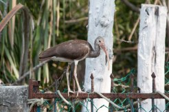 An ibis, trying not to get eaten