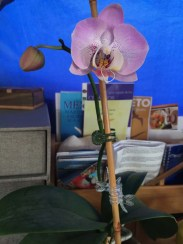 Mama's orchid bloomed again :)