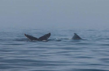 Humpbacks on a foggy morning on Banderas Bay