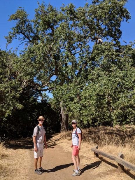 Oh, those oaks