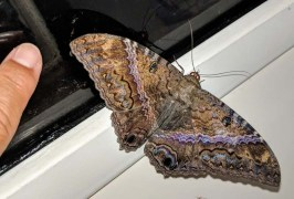 Big, beautiful moth was drawn to the light inside FL