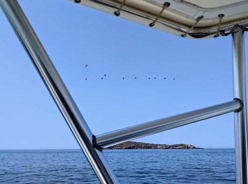 Pelicans social distancing in Chamela
