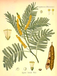 acacia wood, occult symbol of acacia, sacred plant