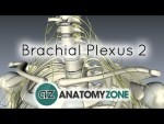 Brachial Plexus - Structure and Location - 3D Anatomy Tutorial