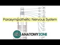 Parasympathetic Nervous System Anatomy