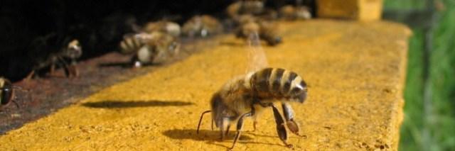 Ez okozta a méhek pusztulását - Gyógyhatású készítményt vontak be