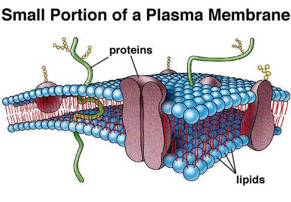 describe the fluid mosaic model of the plasma membrane