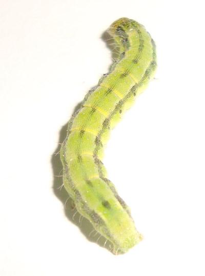 cabbage worm