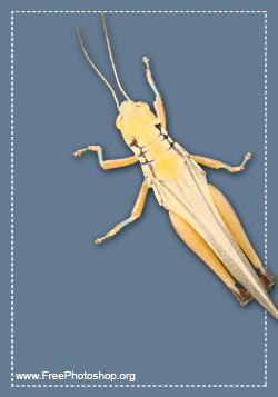 Grasshopper Insect Psd