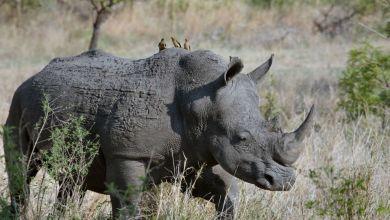 Photo of عقب وفاة أخر حيوان أنثى.. السرطان يسبب انقراض وحيد القرن السومطري