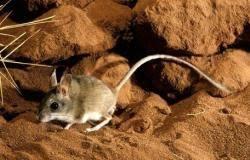 Photo of فيروس جديد قاتل وسريع يهاجم الصين بسبب الفئران