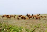 elk on the beach 070313