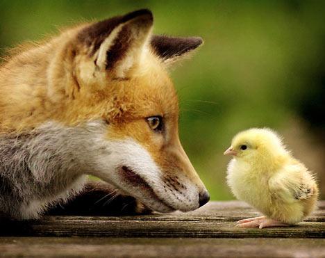 fox-chicken