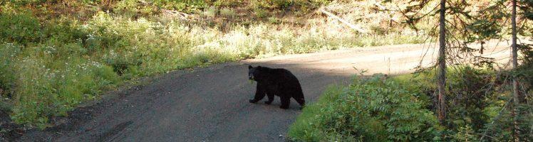 Black bear - Follow me Tour
