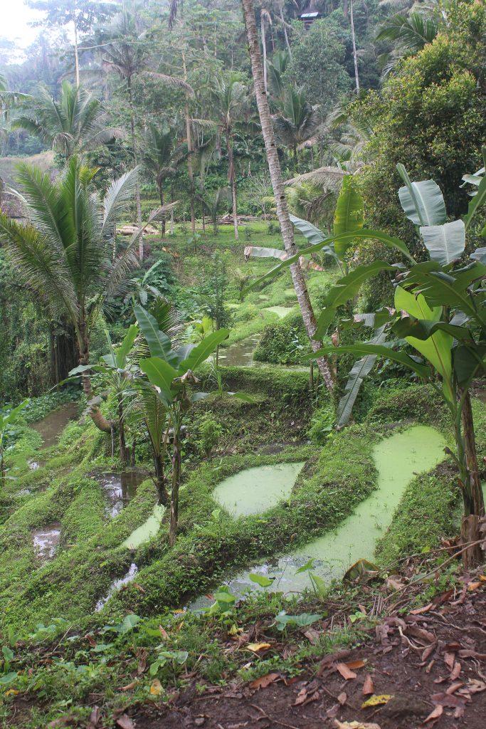 Terraced rice fields in jungle