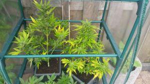 Cannabis en combinatieteelt