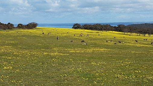 The field of Kangaroos