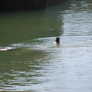 River otters at Lewis Flat
