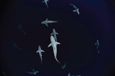 Sharks at Haleiwa