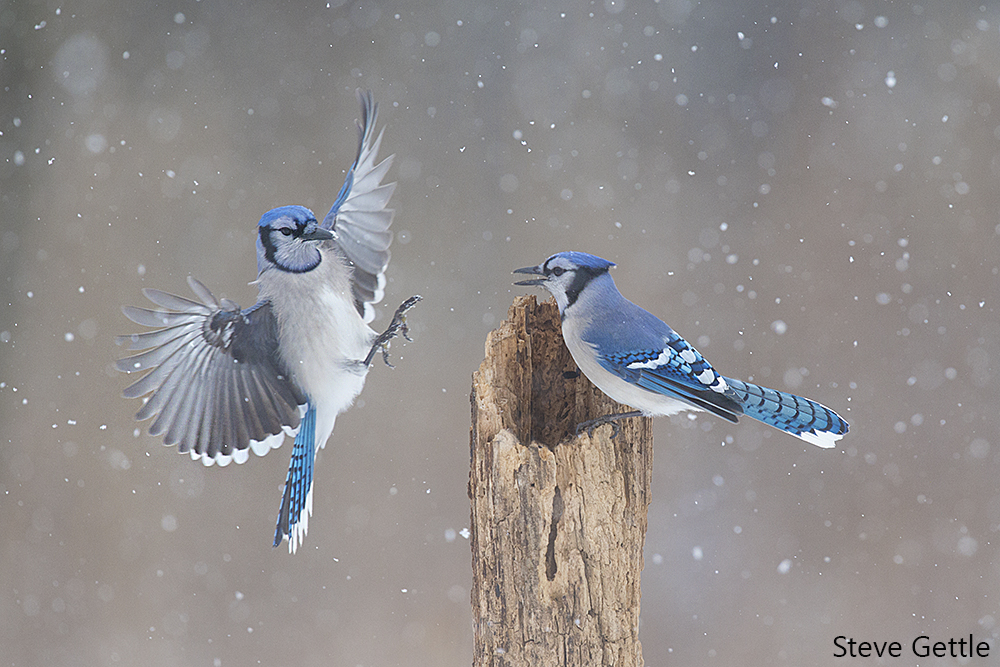 Captured with the new Sabre by Steve Gettle. This pair of Blue Jays was captured in our home state of Michigan. Many thanks to Steve for sharing! You can see Steve's setup for the shot on his Blog.