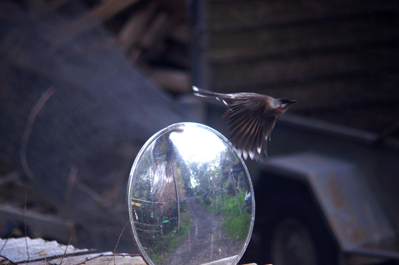 wattlebird4