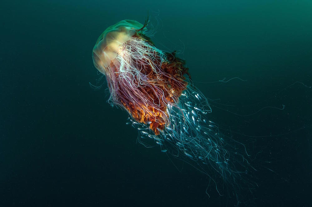 """Hitchhikers"" (Lion's Mane Jellyfish), St Kilda, off the Island of Hirta, Scotland, by George Stoyle."