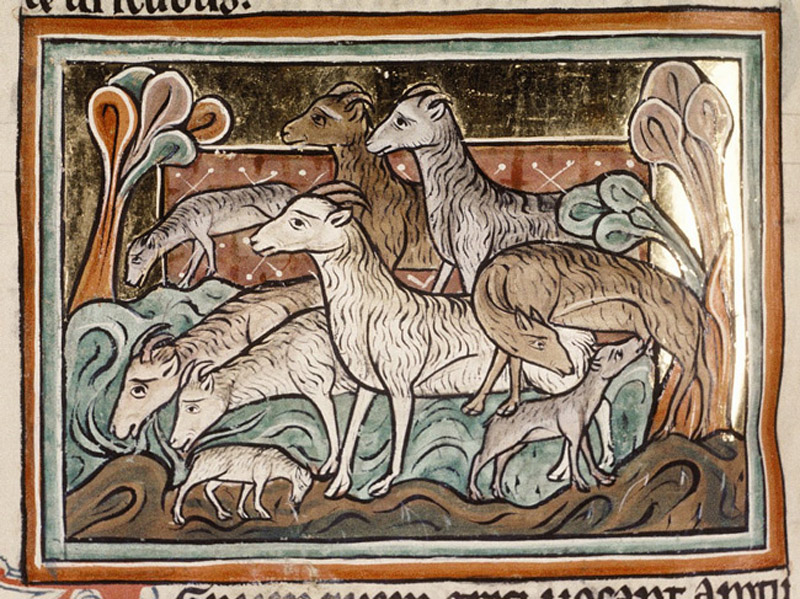 Sheep, Bodleian Library, MS. Bodley 764, Folio 35v.