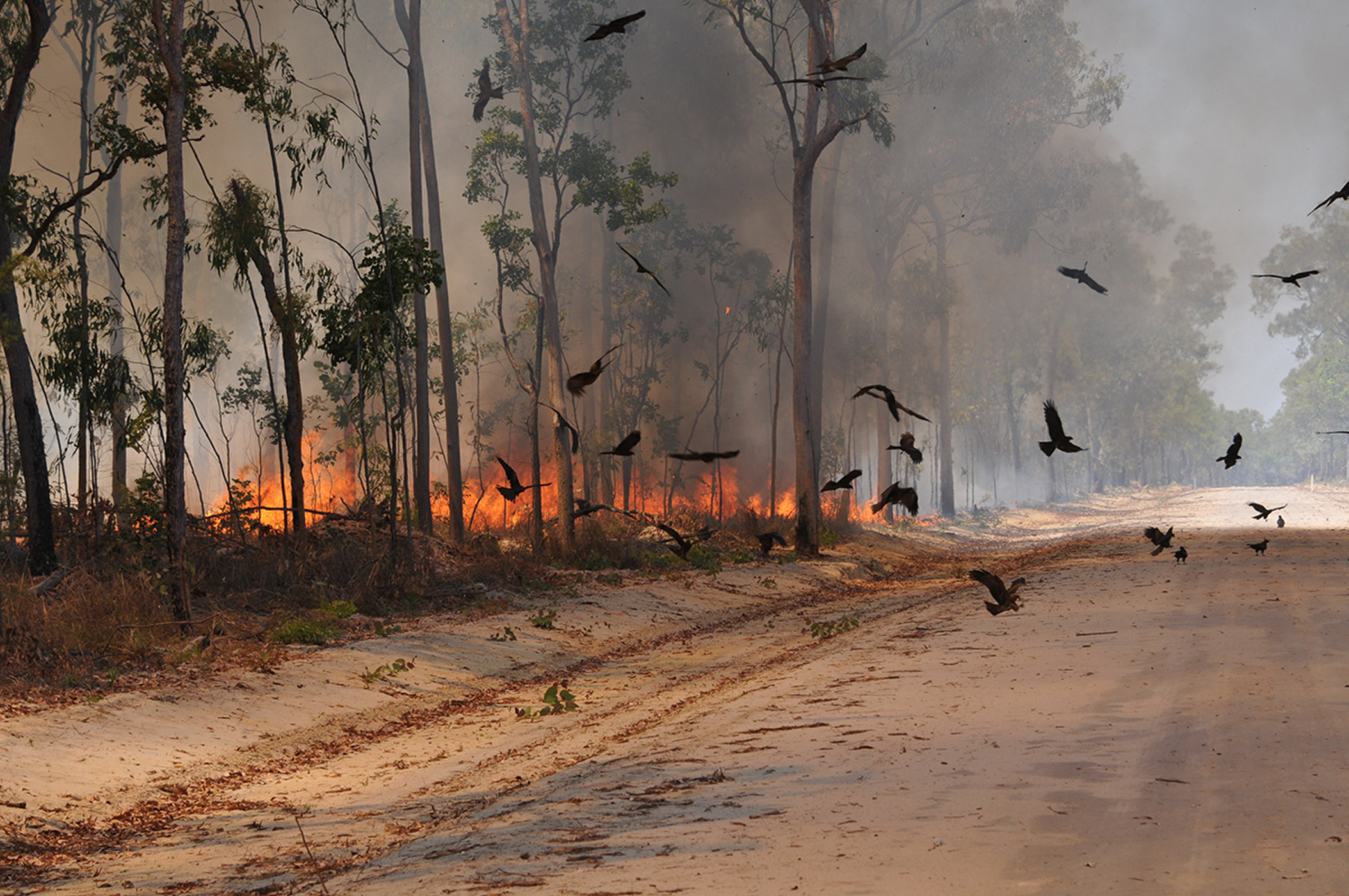 Black kites (Milvus migrans) circle near a roadway during a fire on the Cape York Peninsula in Queensland, Australia. Credit: Dick Eussen.