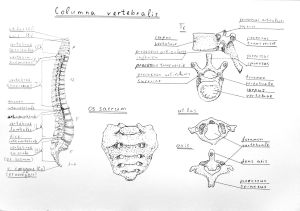 Spine Drawing