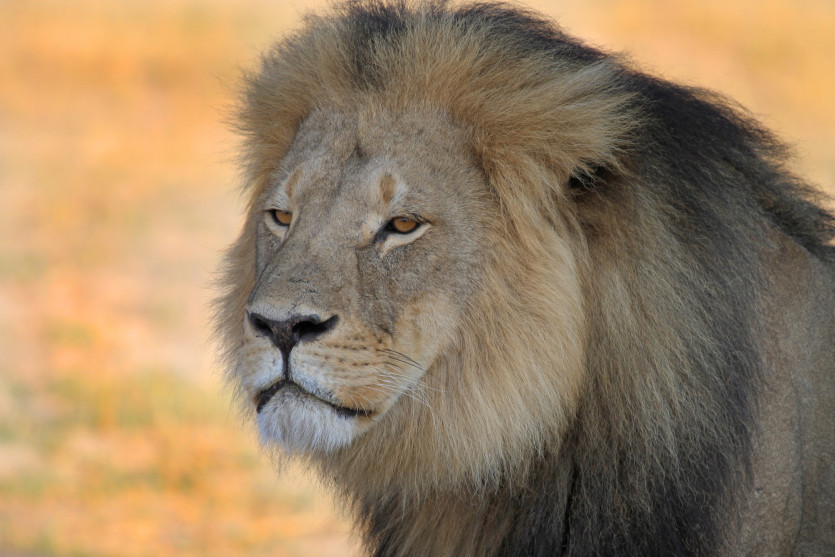 Cecil the lion gained fame after he was killed by Safari Club International member Walter Palmer during an illegal hunt in Zimbabwe. Paula French/ZUMA.