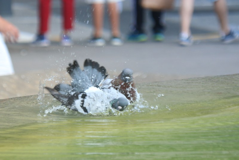 Pigeon bathing in a water fountain.