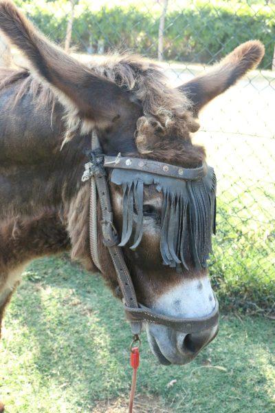 Close up of a donkey's head.