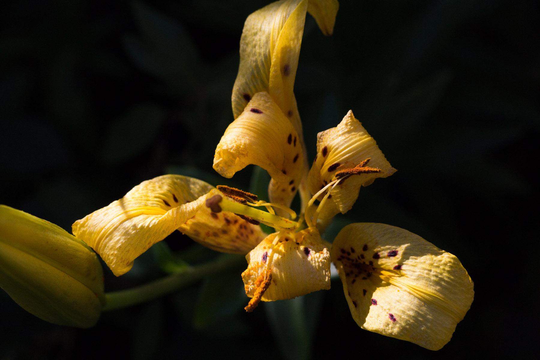 Death of a tiger lily izmirmasajfo