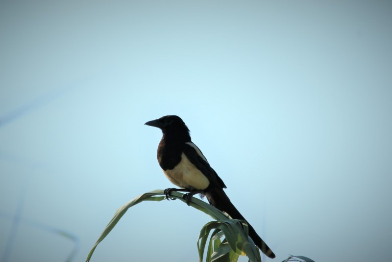 Magpie sitting on reeds