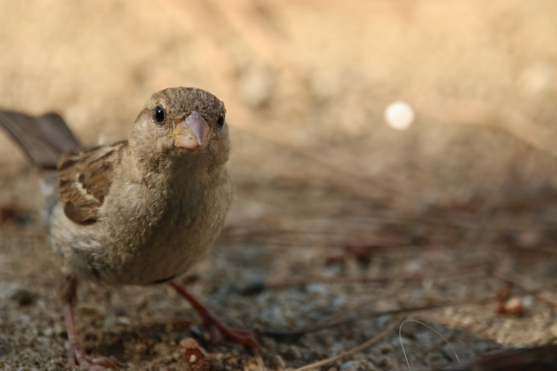 Close up of female sparrow.