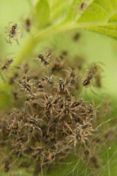 Nest of tiny spiders