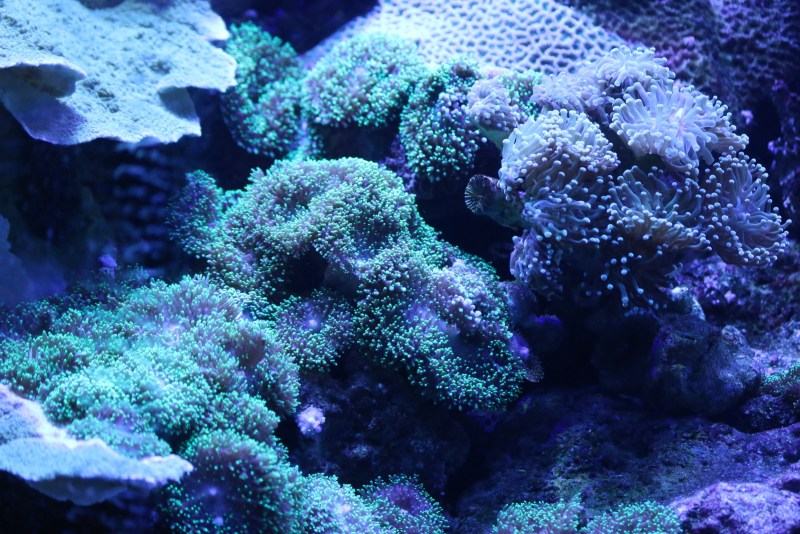 Green and blue corals