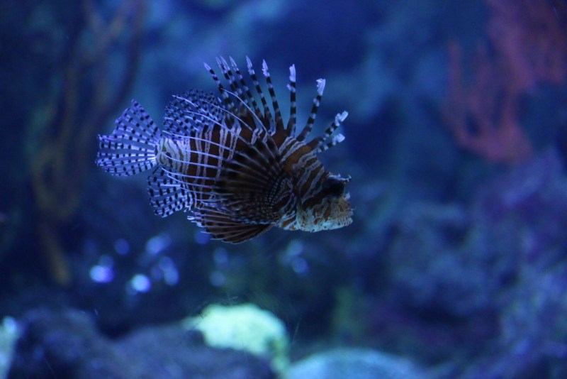 Fish with feathery fins
