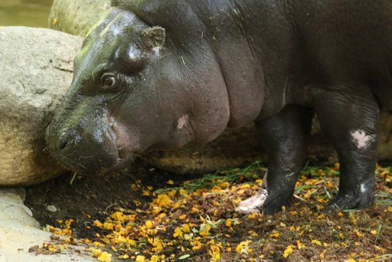 Side of pygmy hippo