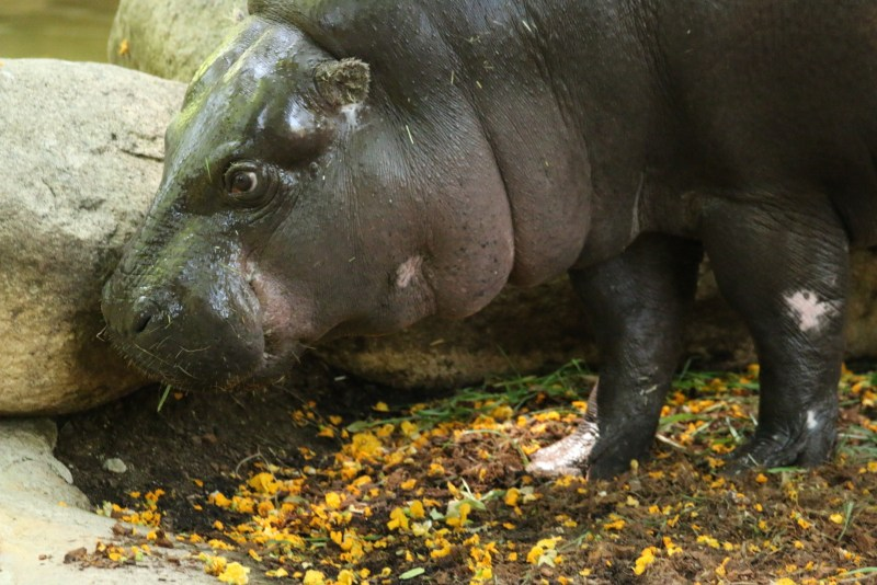 Side of pygmy hippo