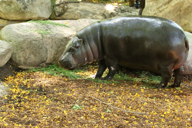 Pygmy hippo, full length