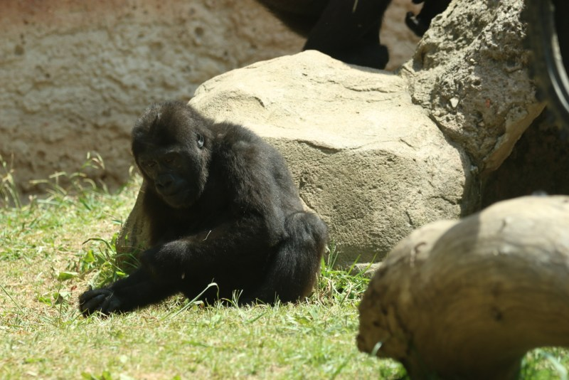 Gorilla on green grass