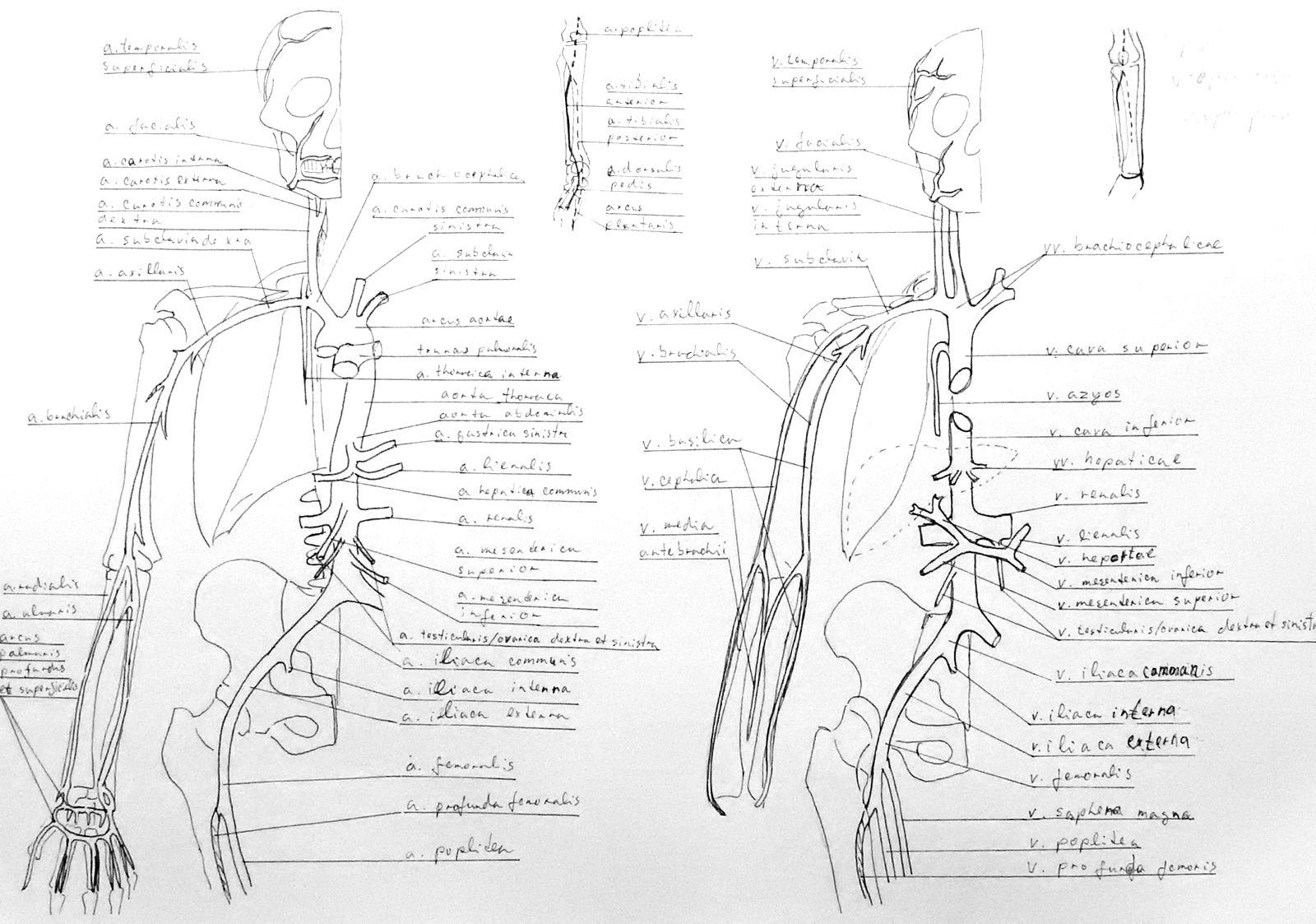 Anatomy Atlas Part 23 Circulatory System