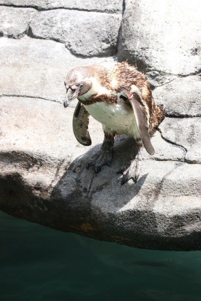 Penguin on rock