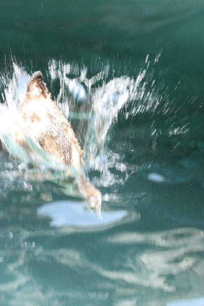 Penguin splashing into water