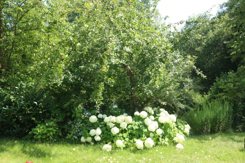 Apple tree with white flowers underneath